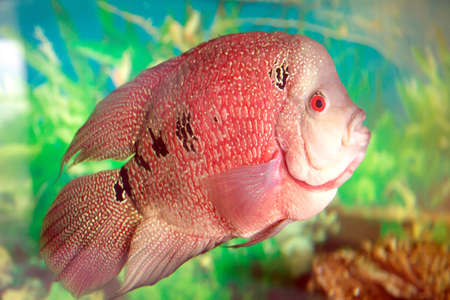 Amphilophus Trimaculatus aquarium fish