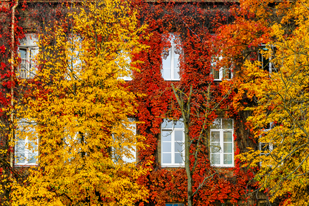 Wild grapes red autumn, to the house wall Standard-Bild