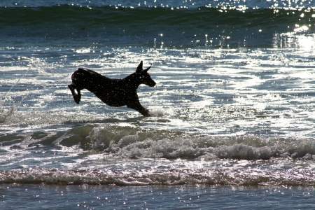 pinscher: Doberman Pinscher leaping the waves on Carmel Beach at dusk