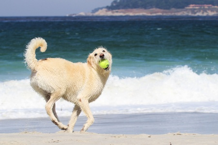 LabraDoodle playing with a Tennis Ball on the Carmel Beach Stock Photo - 10983174