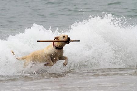 carmel: Labrador amarillo ir a buscar un palo de las olas en la playa de Carmel