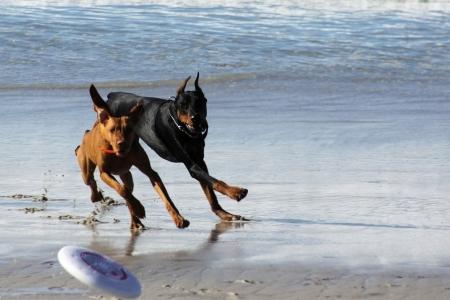 ridgebacks: Rhodesian Ridgeback and Black Doberman chasing a Frisbee on Carmel Beach Stock Photo