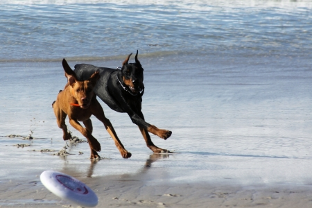 carmel: Rhodesian Ridgeback y Doberman Negro persiguiendo un frisbee en la playa de Carmel Foto de archivo
