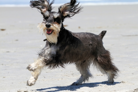 carmel: Schnauzer leaping for joy while playing in the sand on Carmel Beach