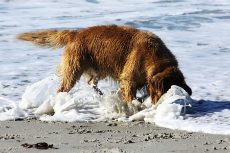 retrieve: Golden Retriever Buries His Head in the Surf While Trying to Retrieve Tennis Ball Stock Photo