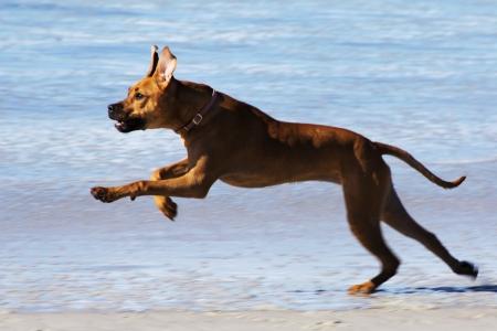 ridgebacks: Rhodesian Ridgeback Leaping While Playing on the Beach Stock Photo