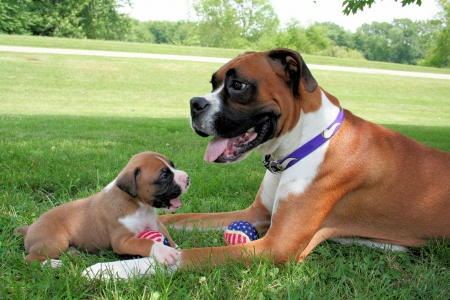 boxer dog: Mommy Boxer with Adoring Puppy Stock Photo
