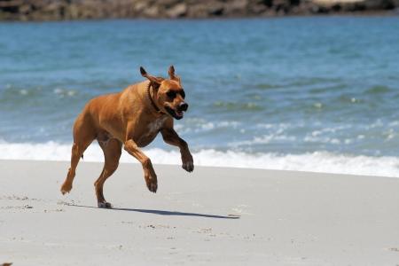 Rhodesian Ridgeback Running on Beach