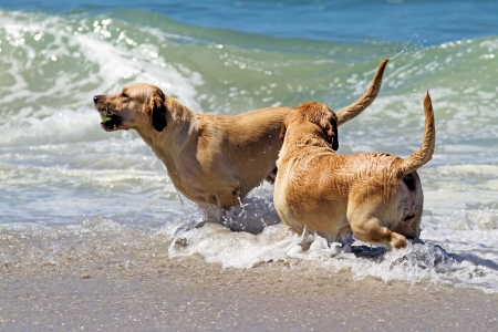 dogs playing: Pair of Yellow Labradors Playing in Ocean Waves