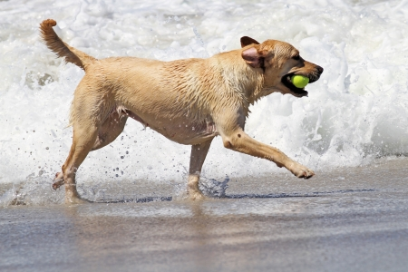 Yellow Labrador Playing with Tennis Ball in Ocean Surf photo