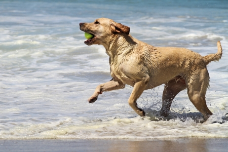 Yellow Labrador Playing with Tennis Ball in Ocean Surf Stock Photo - 13984309