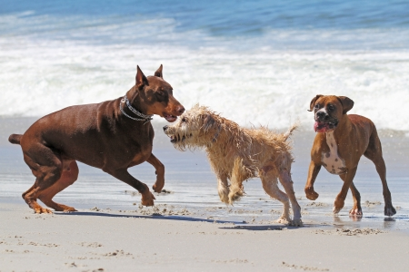 Red Doberman and Boxer Playing with Mixed Breed on Beach photo