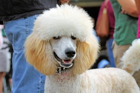 standard poodle: Smiling Apricot Standard Poodle