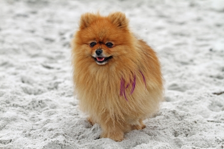 carmel: Pomeranian with Purple Hair Extensions Standing on Carmel Beach