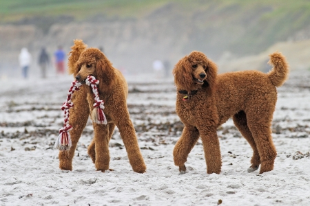 Red Poodles Play on Carmel Beach with Tug of War Toy photo