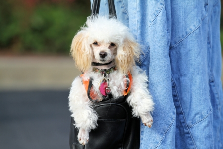 tote: Toy Poodle Hanging Around in Tote