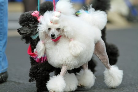 White Toy Poodle Walking photo