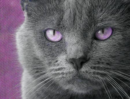 Cat With Purple Eyes Stock fotó