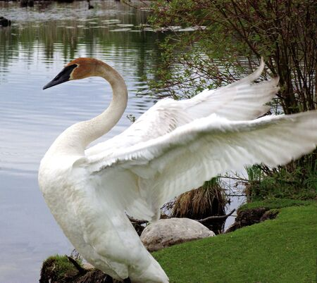 Swan With Wings Of White