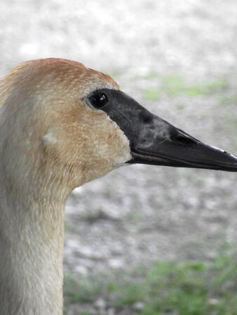 profile: Trumpeter Swan Profile