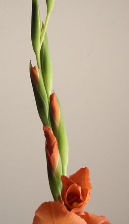 Gladiola Stem With Opening Buds photo