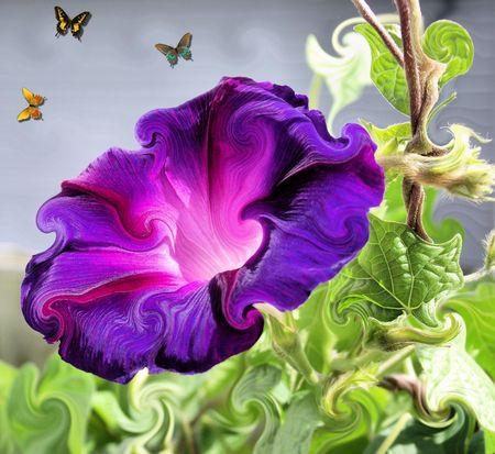 Morning Glory and Butterflies Stock Photo - 7576945