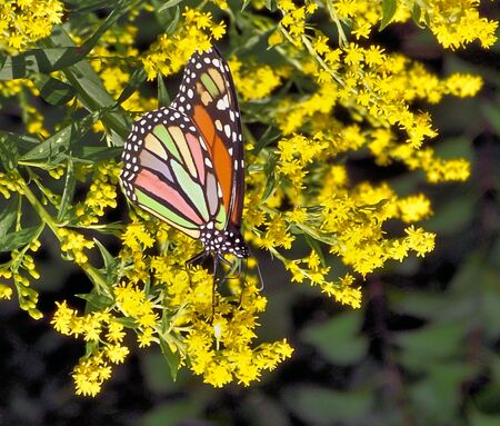 Multi-Coloured Butterfly On Goldenrod photo