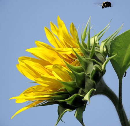 Sunflower With Bee Hovering  Over & Ant Climbing Stalk photo