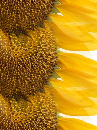Sunflower Abstract Banco de Imagens