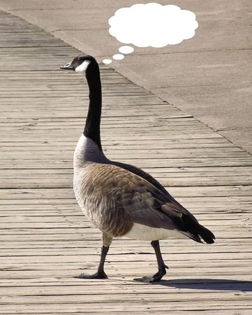canada goose: Goose Walking On Boardwalk With ThoughtSpeech Bubble Stock Photo