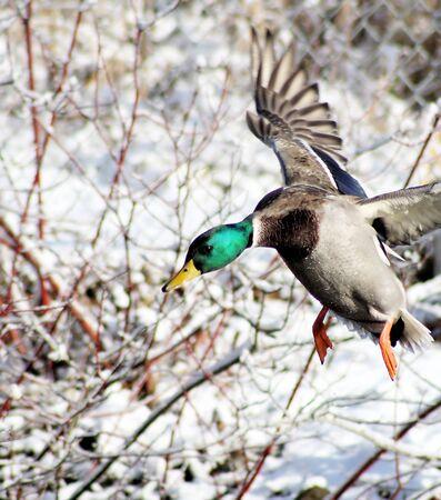 Mallard Duck Landing Stock Photo - 8270537