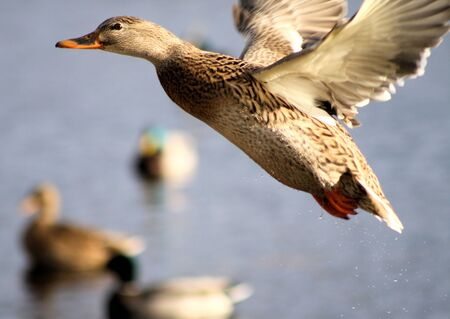 Mallard Duck Flying Off  photo