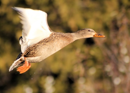 Mallard Duck Flying Free photo