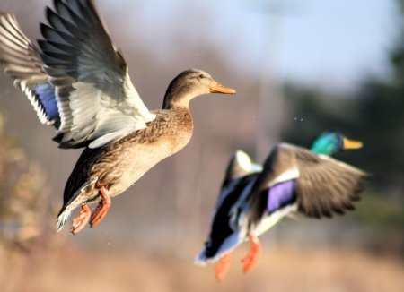 pato real: Anas platyrhynchos Ducks en vuelo