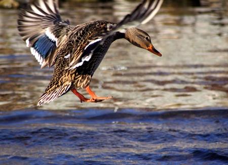 Mallard Duck Landing In Blue Waters Foto de archivo