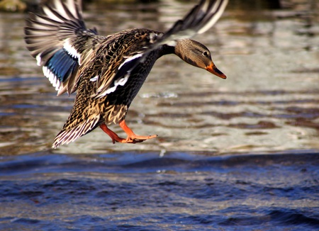 Mallard Duck Landing In Blue Waters Banco de Imagens