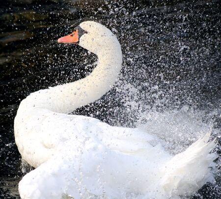 Swan Splash dans