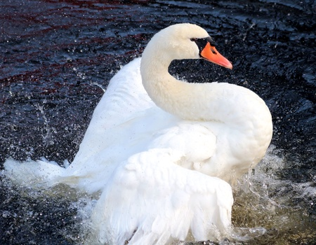 Beautiful And Graceful Swan photo