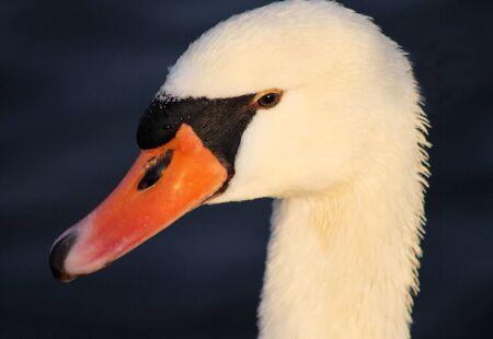 profile: Swan Profile Stock Photo