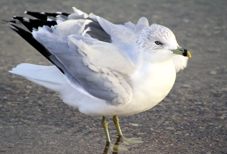 gust: Seagull Caught In A Gust Of Wind Stock Photo