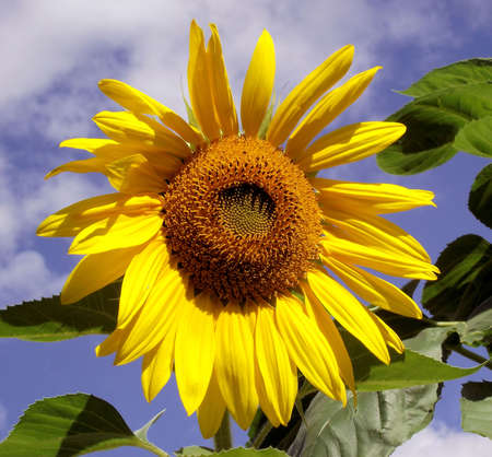 cheery: Bright  & Cheery Garden Sunflower
