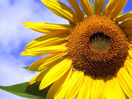 Sunflower Stock Photo - 8323992
