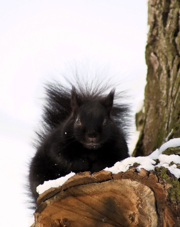hibernate: Squirrel On Snow Covered Tree Branch