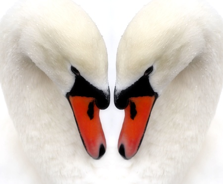 Two Swans - Reflection photo