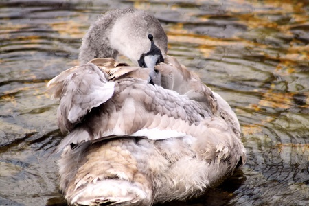 preening: Young Swan Preening Her Feathers