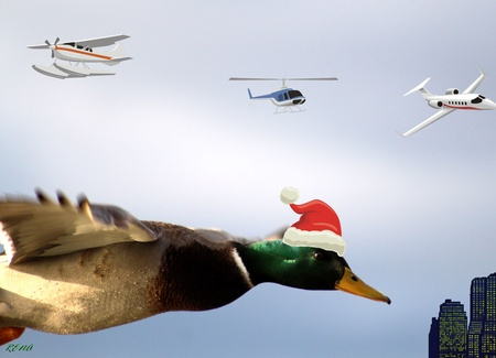 mallard: Santas Helper - Mallard Duck Stock Photo
