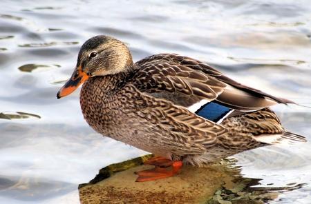 wetland conservation: Mallard Duck Female Stock Photo