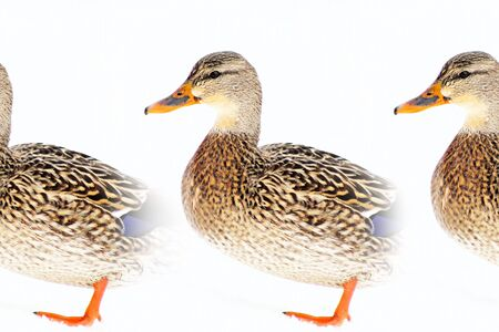 strut: Mallard Duck In Repeat Pattern