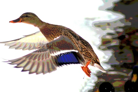 Mallard Duck In Flight  Stok Fotoğraf