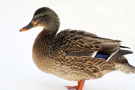 wetland conservation: Mallard Duck On Snow Stock Photo